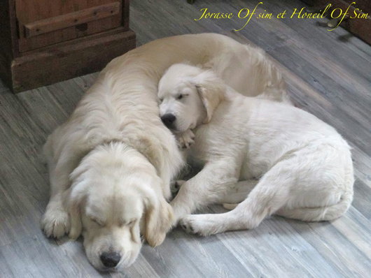 golden retrievers Jorasse of sim et Honeil of sim