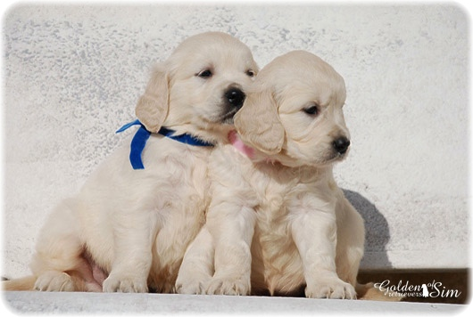 golden-retriever-10a