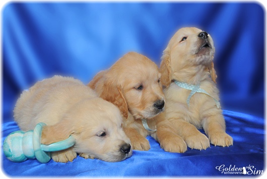 golden-retriever-13a