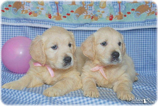 golden-retriever-3a