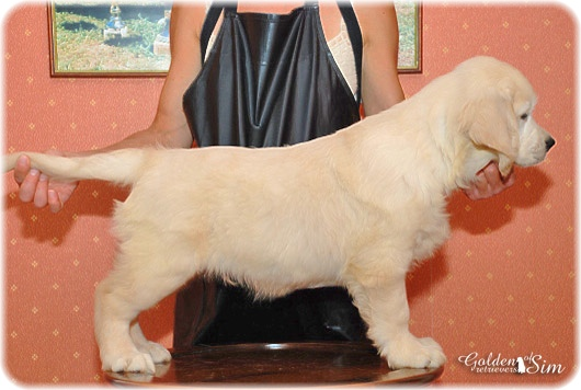 golden-retriever-7a
