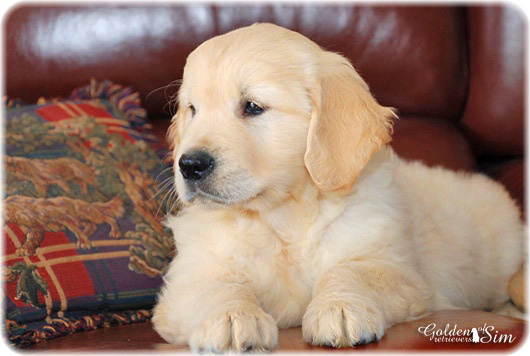 golden-retriever-8c