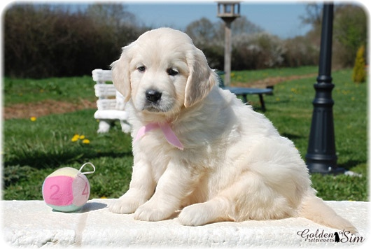 golden-retriever-9a
