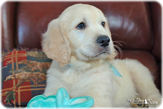 golden-retriever-clair