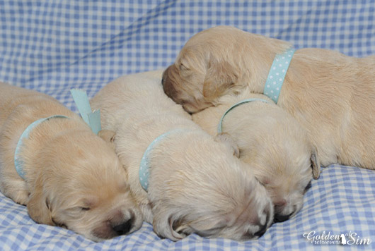 male-golden-retriever-of-sim-en-gros-plan