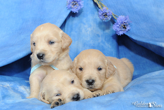 chiot-golden-retriever-of-sim-11
