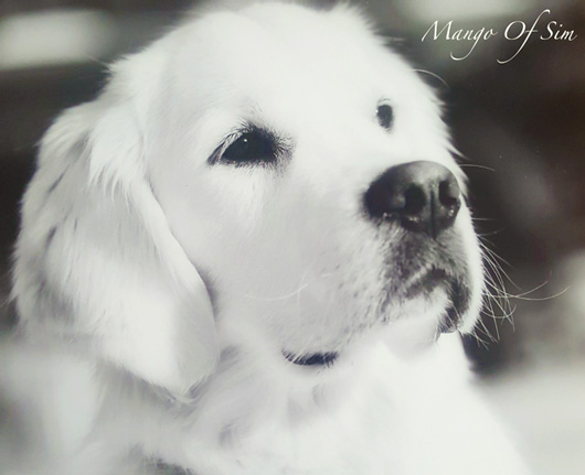 Portrait golden retriever Mango Of Sim 2