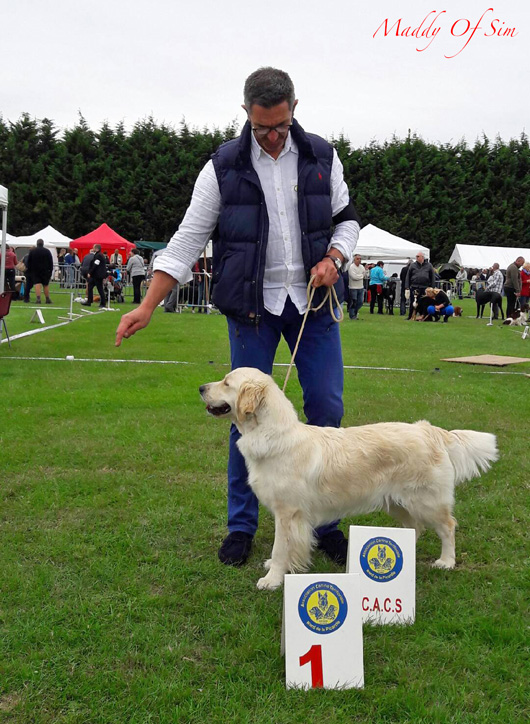 confirmation golden retriever Maddy of sim 3