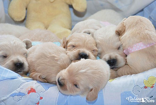 chiots-golden-retrievers-1