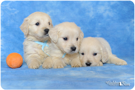 3 chiots goldens of sim