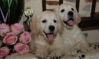2-magnifiques-chiots-golden-retrievers-de-lelevage-of-sim.jpg