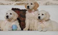 3-filles-golden-retriever-du-domaine-of-sim.jpg