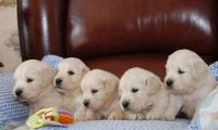 des-chiots-golden-retrievers-de-lelevage-of-sim.jpg