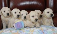 famille-de-6-chiots-golden-retrievers-elevage-of-sim.jpg