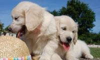 la-beaute-des-chiots-golden-retrievers-of-sim.jpg