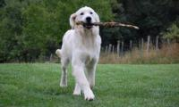 Les-golden-retrievers-of-sim-de-nos-clients-01.jpg
